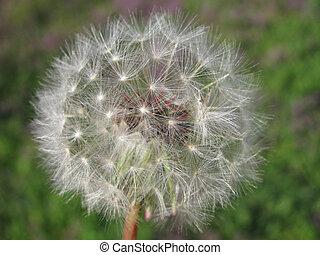 dandelion - close up photo of dandelion head...