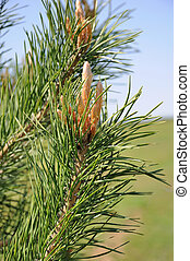 Close-up photo of pine branch.