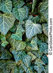 Close up photo of Poison Ivy background