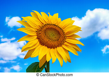 Close-up photo of sunflower flower on farm field, with blue sky and white clouds in background