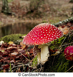 Amanita poisonous mushroom - Close-up picture of a Amanita...