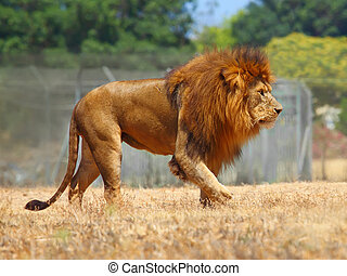 Close Up picture of a male lion
