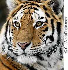 Tiger - Close-up picture of a Siberian Tiger on a cold...