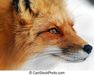 Red Fox - Close-up picture of a wild Red Fox