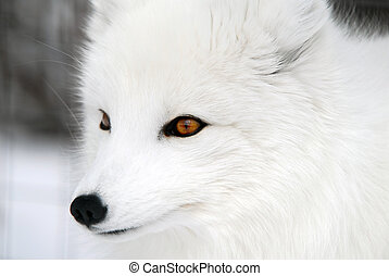 Close-up picture of an Arctic Fox