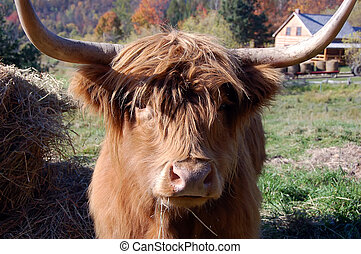 Highland Cow - Close-up picture of an Highland Cow with an...