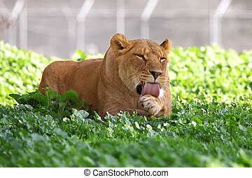 lioness resting in the grass