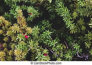 Close up picture of yew tree with red fruits