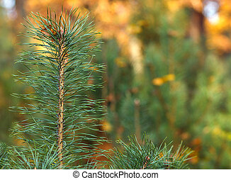 Close up pine branch