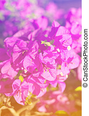 Close up Pink Bougainvillea