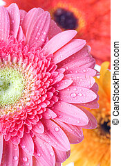 Close up pink daisy-gerbera with water drops