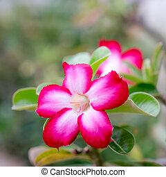 desert rose - Close up pink desert rose in the garden