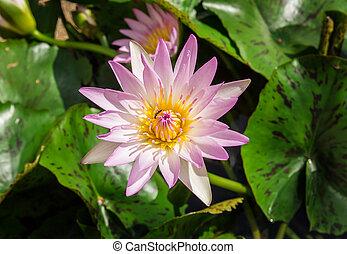 Close up pink Lotus Flower