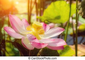 Close up pink lotus flower.