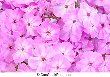 Close up pink phlox flowers
