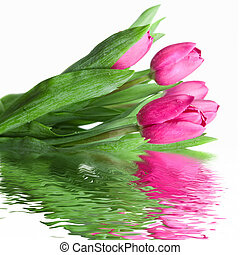 close-up pink tulips with water reflection isolated on white