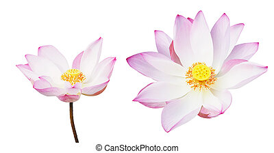 pink water lily isolated on white background.