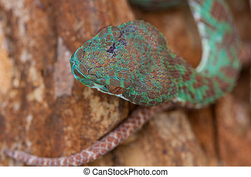 Close up blue krait snake ( bungarus candidus) in nature
