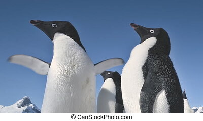 Close-up playing penguins. Antarctica landscape.