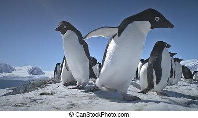 Close-up playing penguins. Antarctica landscape. - Penguins...