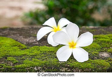 Close up plumeria flowers on floor