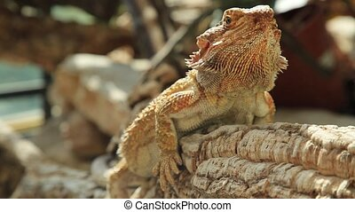 close up Pogona Vitticeps - close up of Pogona Vitticeps or...