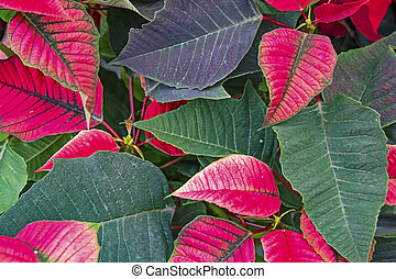close up poinsettia flowers in nature