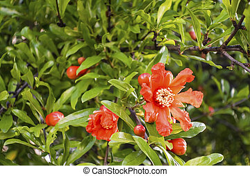 close up pomegranate flowers and green leaves in nature