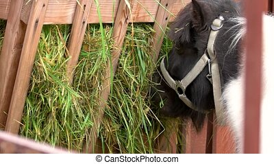 Close up pony eating grass in stable. Horse eating hay at...