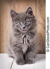 Portrait Bobtail Cat Curious Looking in Camera