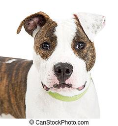 Close-up Portrait Cute Staffordshire Terrier Dog