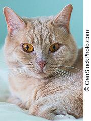 close-up portrait ginger cat.
