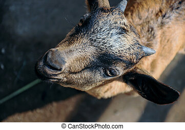 Close up portrait of a baby goat looking at camera