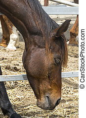 Close-up portrait of a brown horse standing in a stall. Muzzle of a horse looking down. Side view