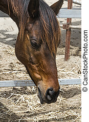 Close-up portrait of a brown horse standing in a stall. Muzzle of a horse looking down