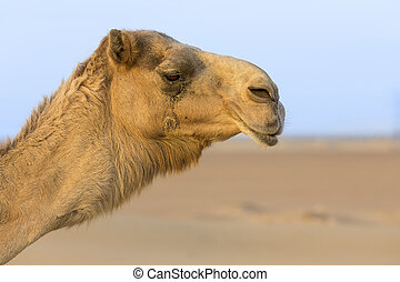 Close up portrait of a camel face in the desert