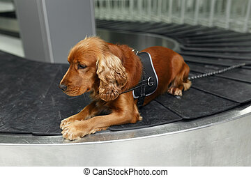 Close up portrait of a cocker spaniel dog at the airoport sitting and waiting on baggage rolling band.