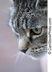 close-up portrait of a domestic cat hunting
