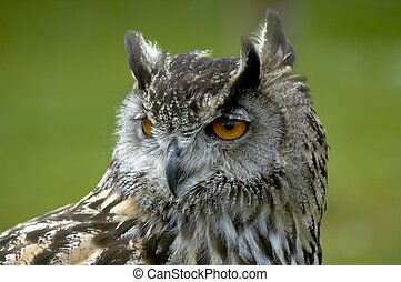 european eagle owl - close up portrait of a european eagle ...