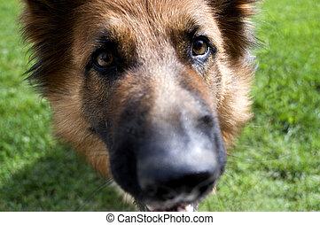 Close up portrait of a German Shepherd dog