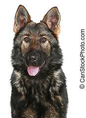 German Shepherd puppy on white background
