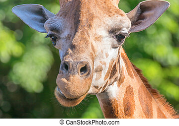 Close up Portrait of a Giraffe, Green Background