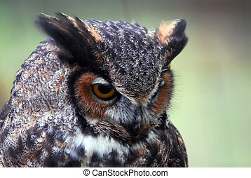 Great Horned Owl (Bubo virginianus) - Close-up portrait of a...