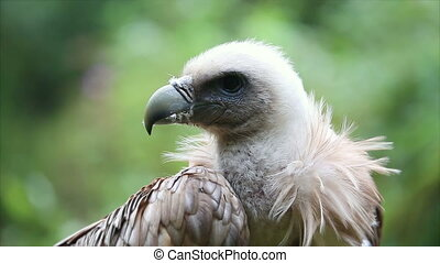 Close Up Portrait Of A Griffon Vulture (Gyps Fulvus)