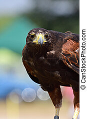 Harris's hawk (parabuteo unicinctus) - Close up portrait of ...