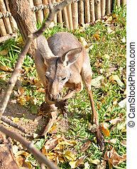 Close-up portrait of a Kangaroo