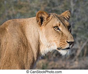 Close-up Portrait of a Lioness
