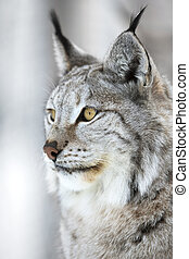 Close-up portrait of a lynx in the winter forest