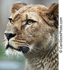Close-up portrait of a majestic lioness (Panthera Leo) in...