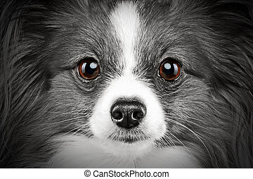 Close-up portrait of a papillon breed dog
